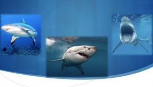 ftrd-sharks
