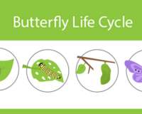 ftrd-butterflylifecycle